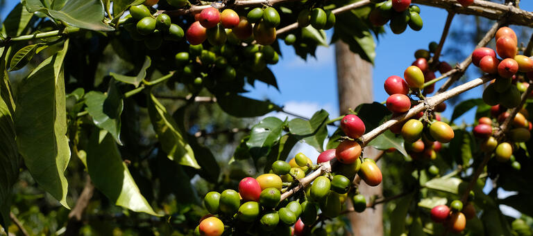 Different Coffee Varities - an Example from Kenya