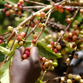 coffee tree and coffee cherries
