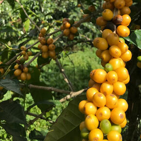 Costa Rica Coffee Yellow Cherries