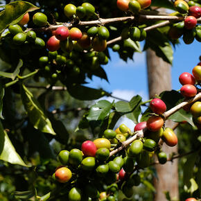 kenyan coffee tree