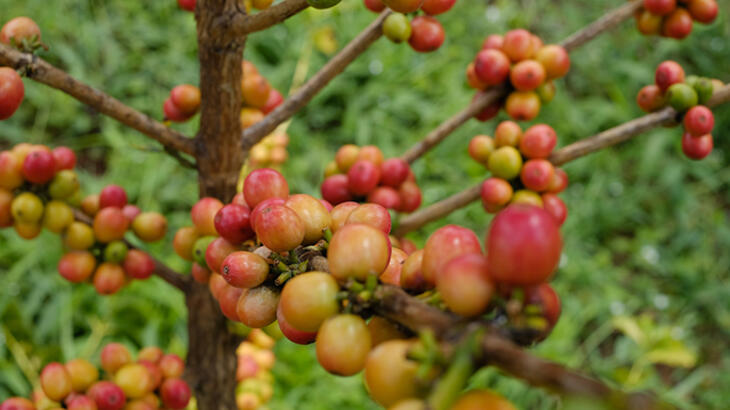 red and yellow coffee cherries