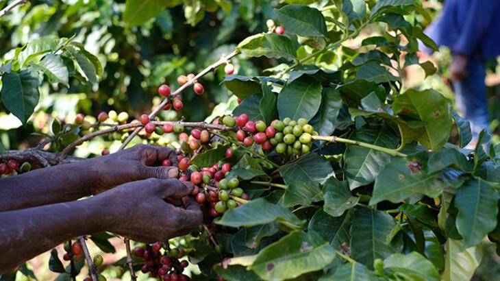 coffee picker picking cherries