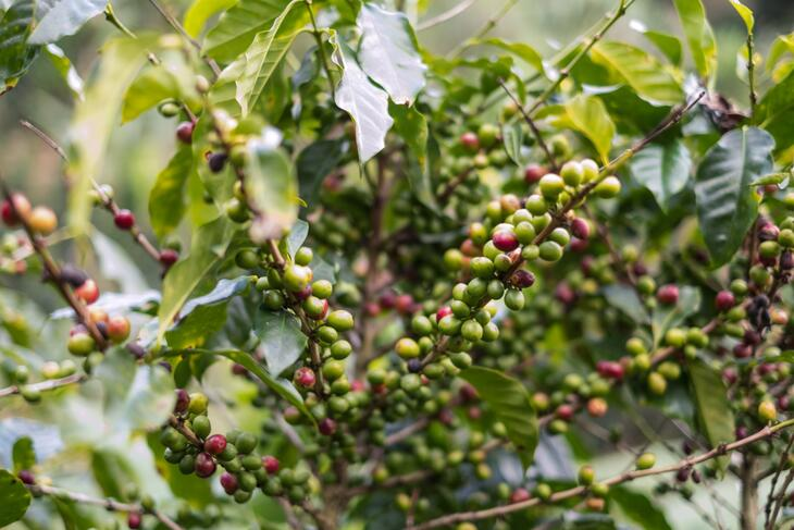 Costa Rica Coffee Berries