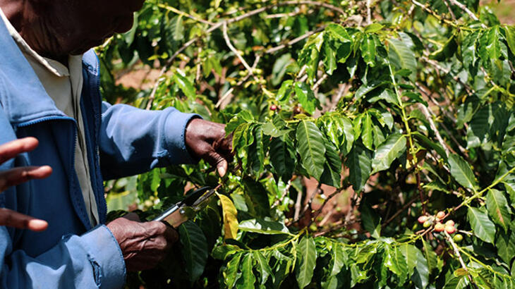 pruning coffee tree