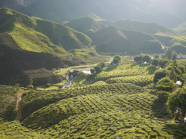 tea growing region